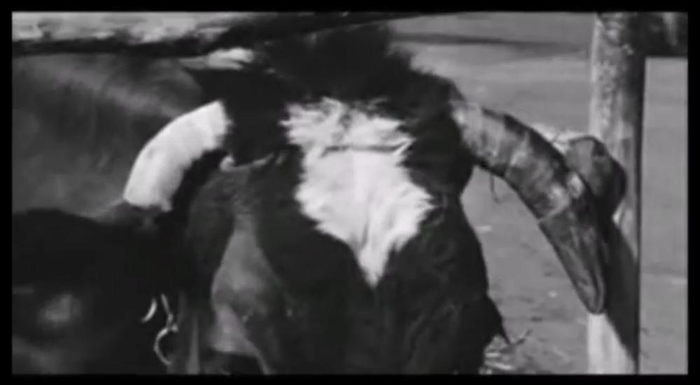 anni-ruggenti-mucca